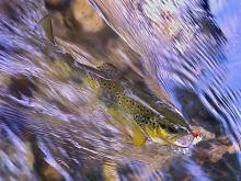 Trota fario pescata nell'Alto Aniene